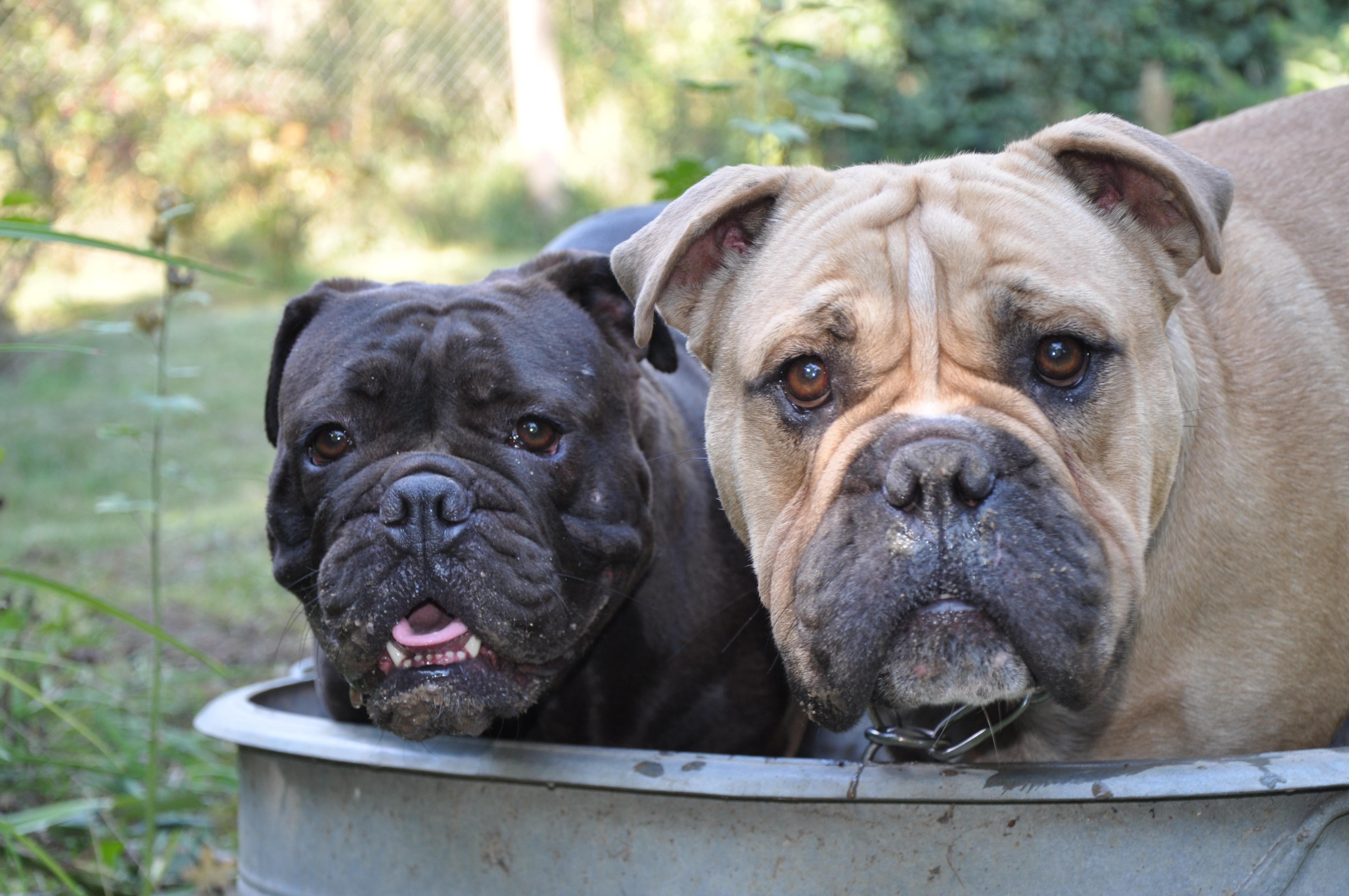 Modern English Bulldog – www.eastside-bulldogs.de