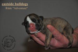 bulldog welpe